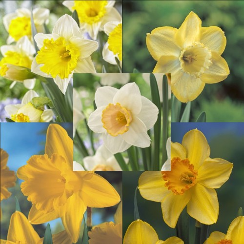 Dazzling Daffodil Collection
