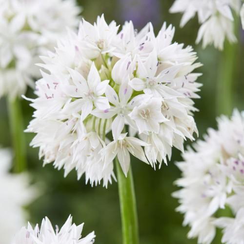 Graceful Beauty Allium Bulbs
