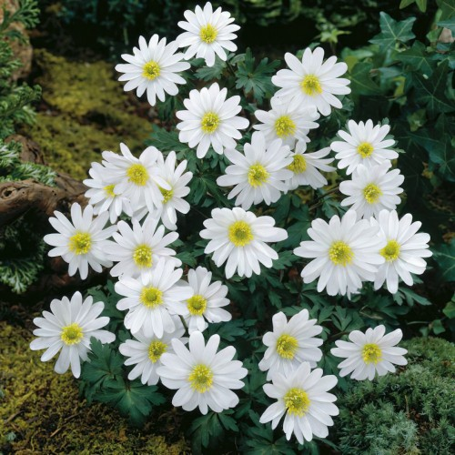 Anemone Blanda White...