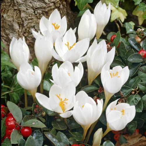 Speciousus Albus Crocus Bulbs