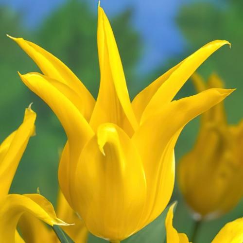 West Point Tulip Bulbs -...