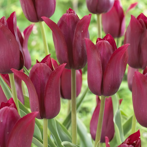 Merlot Tulip Bulbs - Lily...
