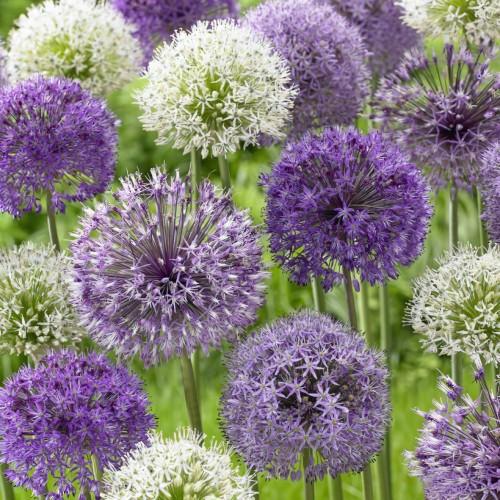 Mixed Tall Alliums - Allium...