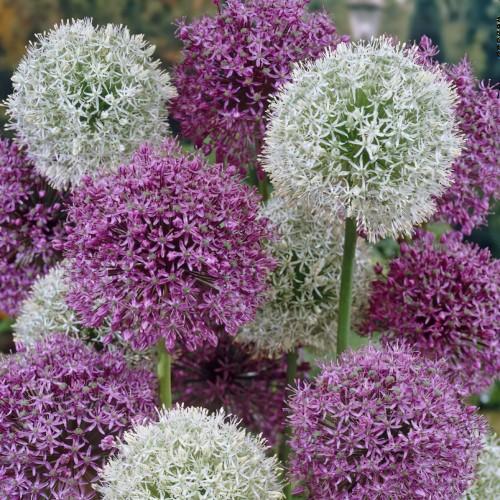 Mixed Giant Allium Bulbs