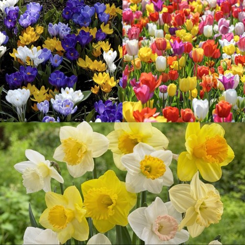 Bargain Spring Bulb Collection