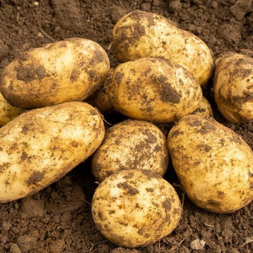 Arran Pilot Seed Potato