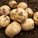 Foremost Seed Potato