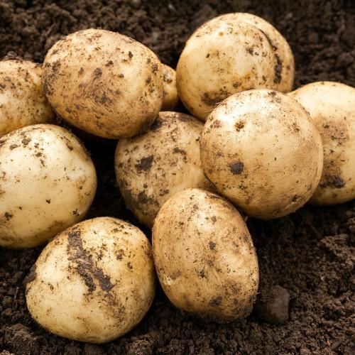 Pentland Javelin Seed Potato
