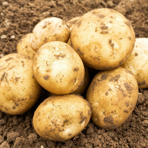 Rocket Seed Potato