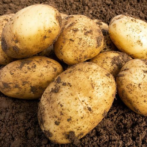 Wilja Seed Potato