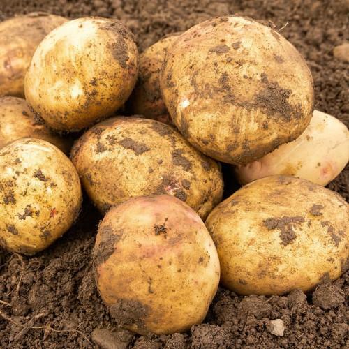 Cara Seed Potato
