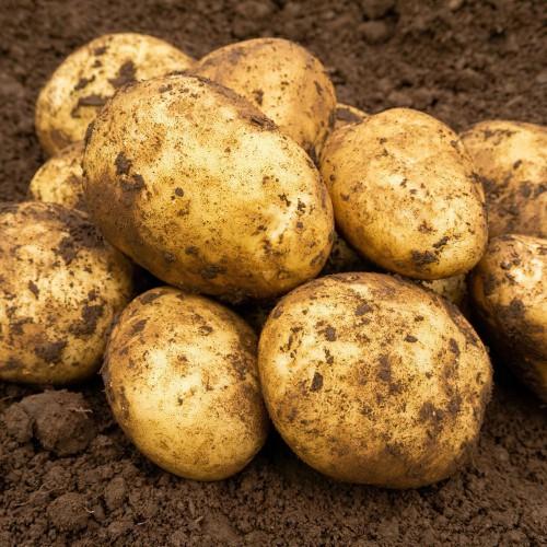 Maris Piper Seed Potato