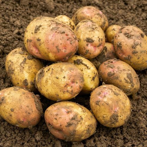 King Edward Seed Potato