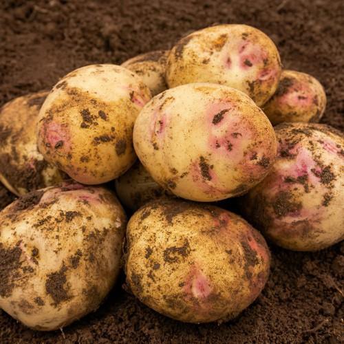 Picasso Seed Potato
