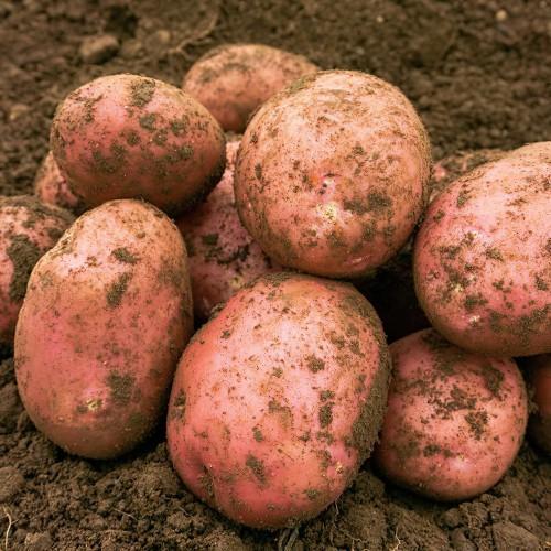 Setanta Seed Potato