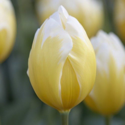Sweetheart Tulip Bulbs -...