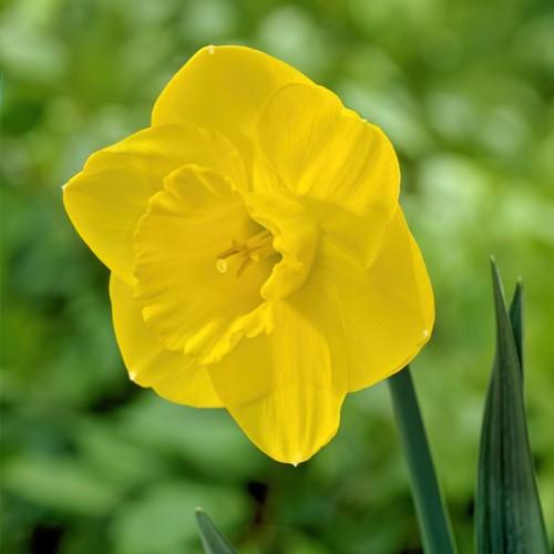 Camelot Daffodil Bulbs