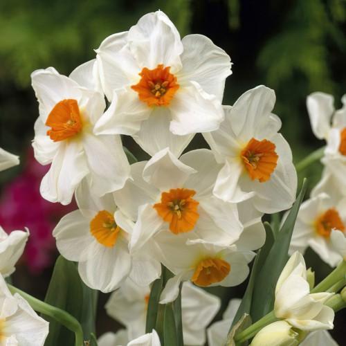 Geranium Daffodil Bulbs