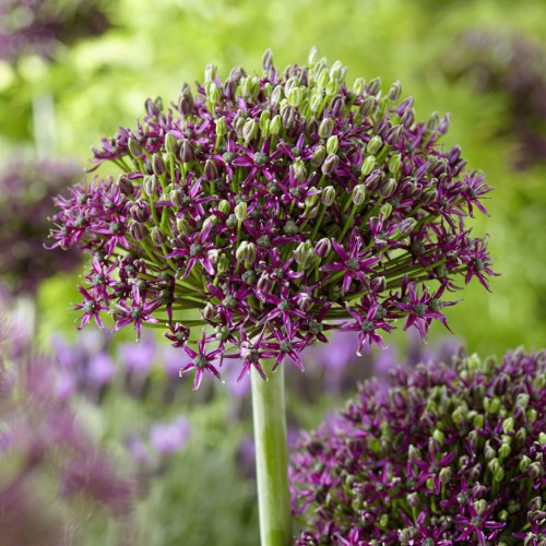 Magic Allium Bulbs