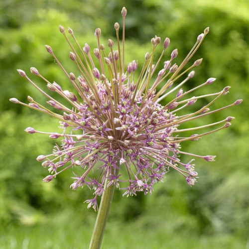 Schubertii Allium Bulbs