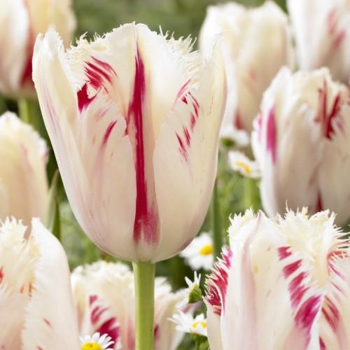 Carousel Tulip Bulbs -...