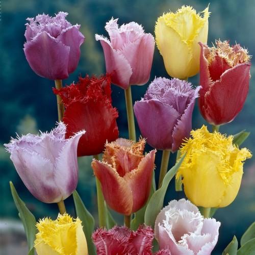 Fringed Tulip Bulbs - Mixed