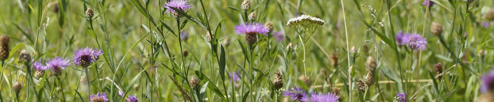 Native Wild Flower Seed Mixtures