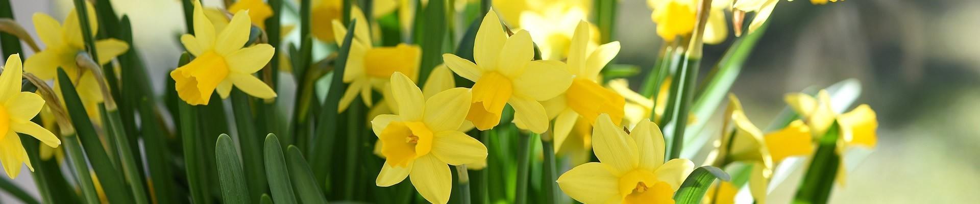 Miniature Daffodil Bulbs