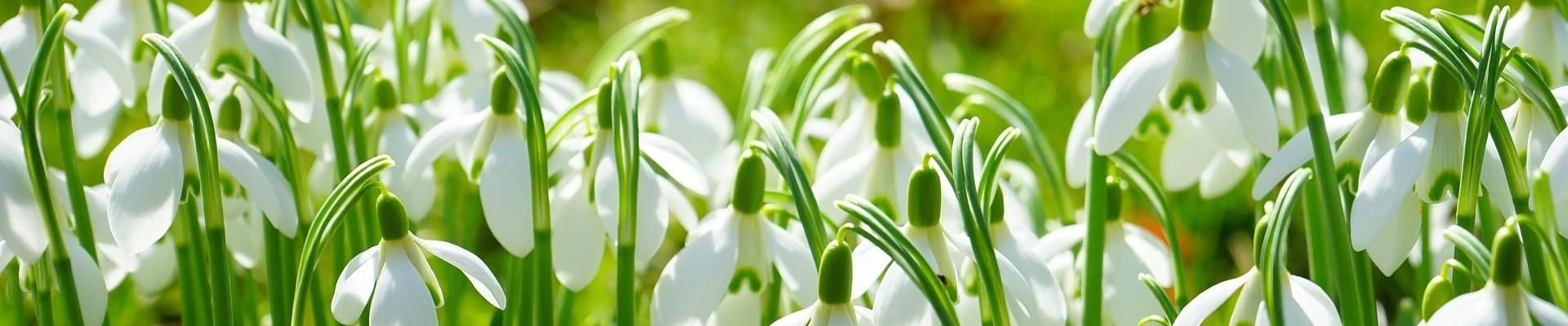 Wild Flower Bulbs